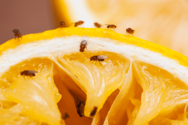 Fruit flies around an orange